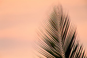 Palm Frond<br />