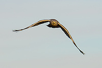 A Northern harrier, flying over a marsh in search of the next meal