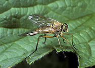 Snipe Fly - Rhagio scolopacea