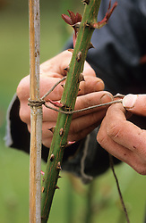 Staking a rose. Clove hitch knot using tarred twine round an old cane.