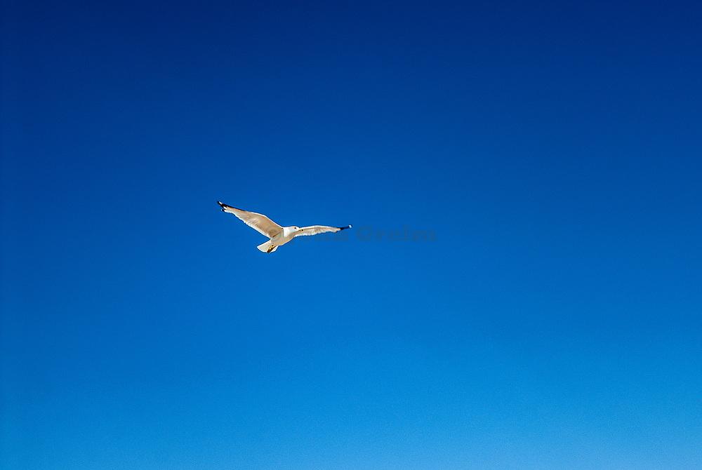 Seagull in flight, Cape Cod, USA.