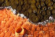 red boring sponge, Cliona delitrix,<br /> attacking star coral, Montastrea cavernosa,<br /> Bahamas ( Western Atlantic Ocean )