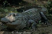 black caiman, Melanosuchus niger (c) <br /> Brazil, South America