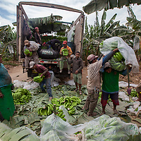 Workers on a plantation in Quercotillo, Piura, with bananas that haven't made the grade for export quality, loading them to a truck for the Peruvian market.