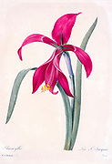 19th-century hand painted Engraving illustration of an amaryllis flower, also known as belladonna lily, the naked lady or an amarillo. By Pierre-Joseph Redoute. Published in Choix Des Plus Belles Fleurs, Paris (1827). by Redouté, Pierre Joseph, 1759-1840.; Chapuis, Jean Baptiste.; Ernest Panckoucke.; Langois, Dr.; Bessin, R.; Victor, fl. ca. 1820-1850.