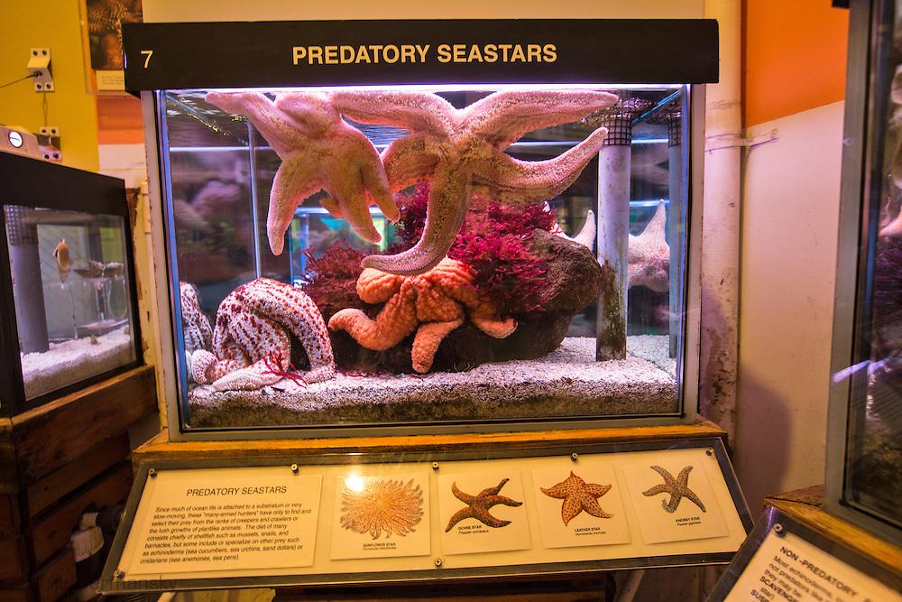 A predatory seastars on display at the Cabrillo Marine Aqurium in San Pedro, CA.