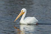 American Pelican cruising the waters of Lake Murray.