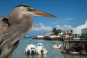 Great Blue Heron (Ardea herodias) with town and boats in back<br /> Puerto Ayora. Santa Cruz Island, GALAPAGOS<br /> ECUADOR. South America<br /> RANGE; Alaska, USA to Islands of Venezuela & Galapagos