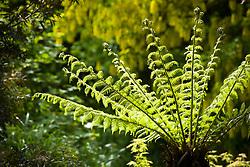 Tree fern fronds unfurling in late spring. Dicksonia antarctica