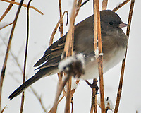 Dark-eyed Junco (Junco hyemalis). Image taken with a Nikon N1V3 camera and 70-300 mm VR lens.