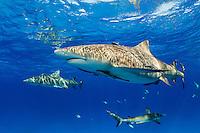 Sunlight dapples on Lemon Sharks near the surface<br /> <br /> Shot in Bahamas