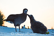 Black-footed albatross, Phoebastria nigripes, chick begging parent to be fed at sunset, Sand Island, Midway Atoll, Midway National Wildlife Refuge, Papahanaumokuakea Marine National Monument, Northwest Hawaiian Islands, USA ( North Pacific Ocean )