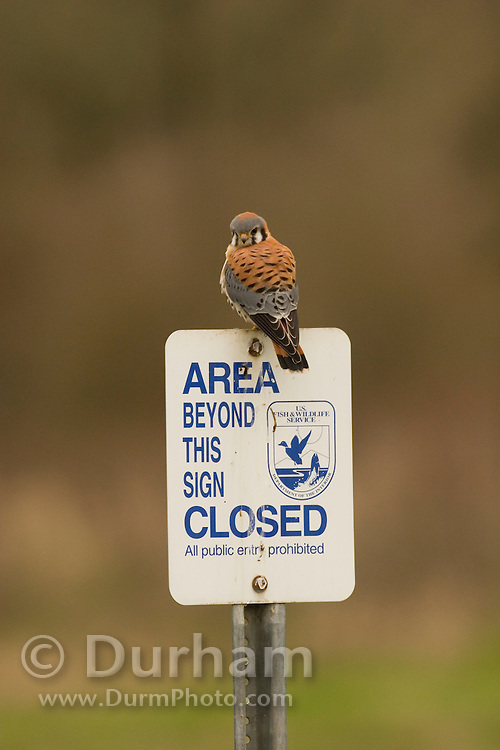 An american kestrel (Falco sparverius) perches on a sing in the Ridgfield National Wildlife Refuge, Washington.