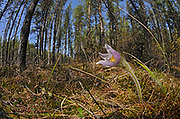 Prairie crocus (Anemone patens) at edge of forest<br />Libeau<br />Manitoba<br />Canada