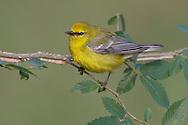 Blue-winged Warbler - Vermivora cyanoptera - Adult male