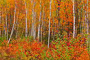 Acadian forest in autumn foliage. <br />Gagetown<br />New Brunswick<br />Canada
