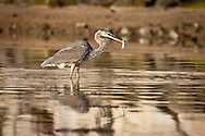 A great blue heron has speared a young bluefish on its sharp beak.
