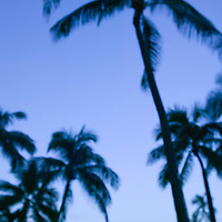 Palm tree shilhouettes at dusk