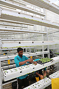 Planting newly germinated Bok Choy plants into vertical farming plots at Sky Greens<br /><br />Sky Greens is a pioneering adventure in vertyical farming, one of the first of its kind, founded by Daniel Chea.<br /><br />As written in their website:<br /><br />World's first low carbon hydraulic water-driven, tropical vegetable urban vertical farm, using green urban solutions to achieve enhanced green sustainable production of safe, fresh and delicious vegetables, using minimal land, water and energy resource<br /><br />Locally grown vegetables in Singapore currently constitute only 7% of local consumption. Demand for local vegetables exceeds supply. Singaporeans trust the quality, freshness and safety of local vegetables, grown using good agricultural practice under the supervision of the Agri-Food & Veterinary Authority of Singapore.<br /> <br /> The A-Go-Gro vertical systems which are 9m in height (3 storeys), housed in protected-outdoor green houses, allow tropical leafy vegetables to be grown all year round at significantly higher yields (than traditional growing methods) that are safe, of high quality, fresh and delicious.<br /><br />Green urban technologies are used on the farm, which is easy and environmentally friendly to operate and maintain. Patented low carbon hydraulic water-driven green technology. Soil-mix, fertilizers and water are controlled. Modular A-frame structures for easy installation & maintenance. Outdoor green houses, which use abundant sunlight in the tropics throughout the year. Green technology is used to achieve the 3R ( reduce, reuse and recycle)