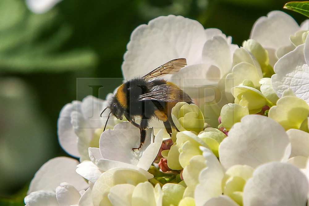 © Licensed to London News Pictures. 19/07/2021. London, UK. A bumblebee on a rhododendron flower collects pollen on a warm and sunny day in London. According to the Met Office, hot weather with temperatures reaching over 26 degrees celsius in the South East continues this week, during the heatwave in the UK. Photo credit: Dinendra Haria/LNP