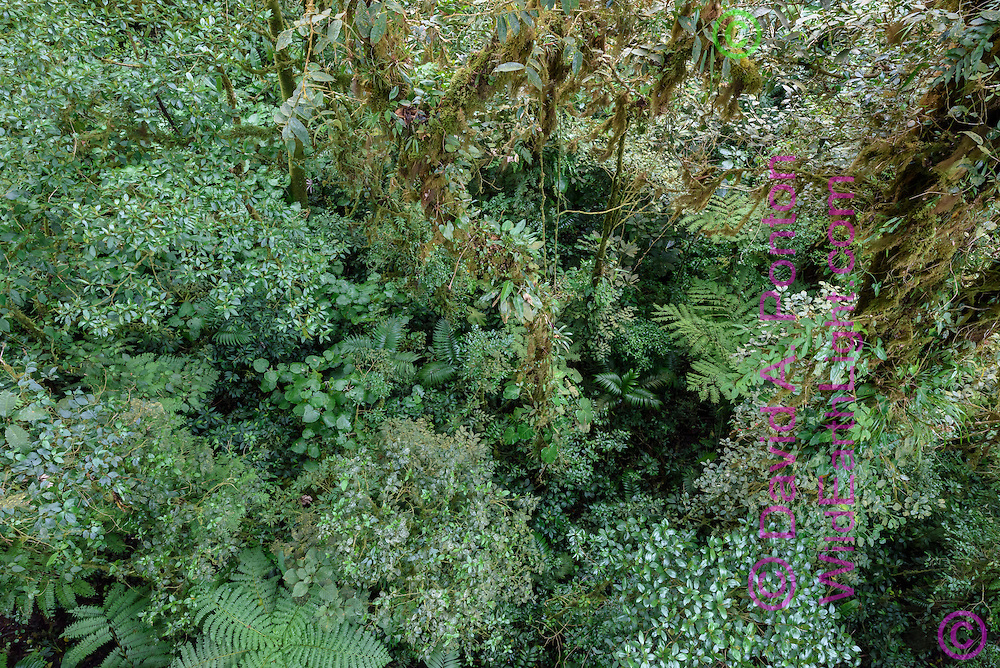 High view of diverse cloud forest, Monteverde Cloud Forest Reserve, © David A. Ponton
