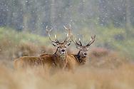 Red deer stags (Cervus elaphus) in blizzard, Cheshire, UK