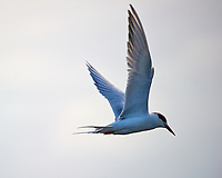 Tern in Flight at Merritt Island National Wildlife Refuge in Florida. Image taken with a Nikon D3s camera and 80-400 mm VR lens (ISO 200, 400 mm, f/5.6, 1/1000 sec). I wonder if it is related to the Arctic Terns I saw in Iceland last year?