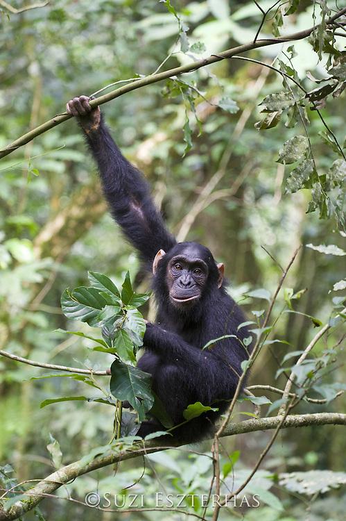 Chimpanzee<br /> Pan troglodytes<br /> 6 year old juvenile<br /> Tropical forest, Western Uganda