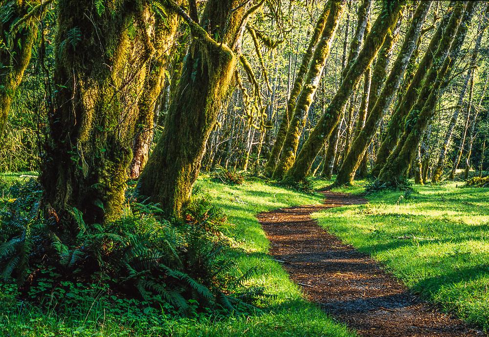 Hoh Rain Forest, alder grove, Olympic National Park, Washington, USA