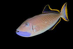 Gilded Triggerfish or Humuhumu, Xanthichthys auromarginatus, male courting coloration, off Kona Coast, Big Island, Hawaii, Pacific Ocean.