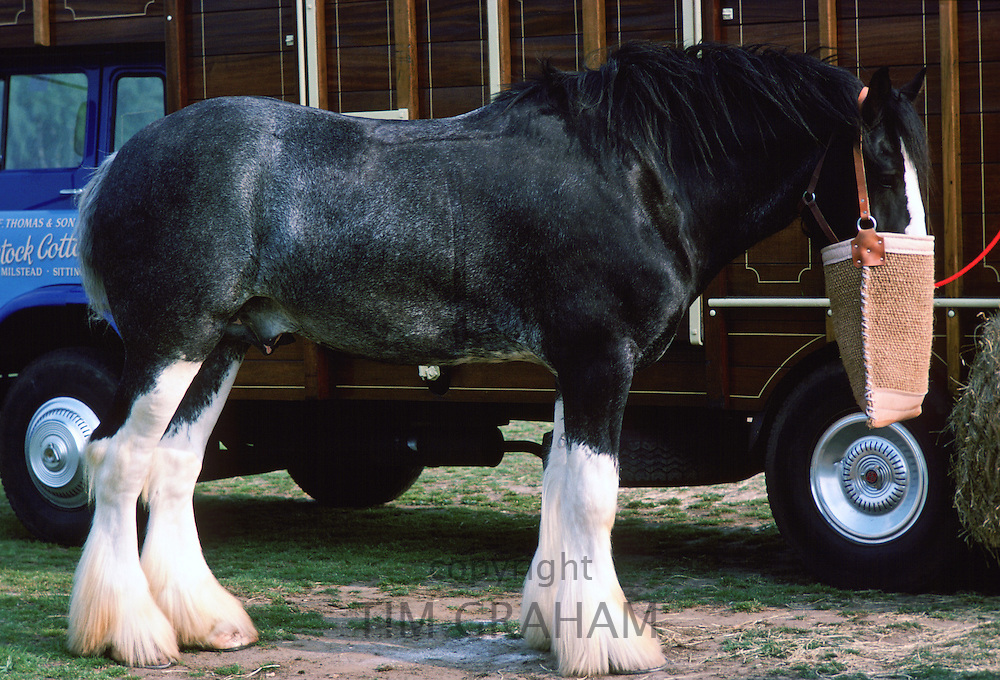 Shire horse with nose bag waits by horse lorry, Berkshire, England, United Kingdom