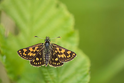 Chequered skipper butterfly Carterocephalus palaemon, adult male basking on a leaf, part of the Back from the Brink project to reintroduce this species to England, Northamptonshire, May