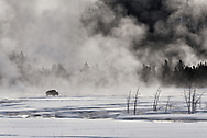 A bison walks across a thermal area near Fountain Flats in winter, Yellowstone National Park