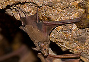 Greater Mouse-tailed Bat (Rhinopoma microphyllum) is a species of bat in the Rhinopomatidae family. It's distribution range extends from northern Africa through southwest Asia to Afghanistan, Pakistan and India. Photographed in Israel in August