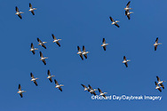 00671-01011 American White Pelicans (Pelecanus erythrorhynchos) group in flight Clinton Co. IL