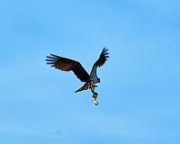 Osprey (Pandion haliaetus). Fort De Soto County Park. St. Petersburg, Florida. Image taken with a Nikon D3x camera and 500 mm f/4 VR lens.