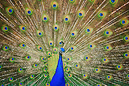 A Peacock (Pavo cristatus) spreads it's tail feathers at the Point Defiance Zoo, Tacoma, WA, USA.