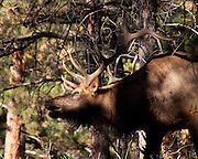 A bull elk creeps through the forest during the Colorado elk rut.
