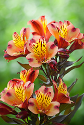 Alstroemeria 'Indian Summer'. Peruvian Lily