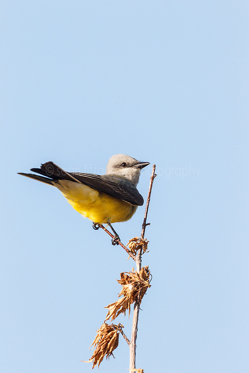 Kingbird (tentative), Trinity River Audubon Center, Dallas, Texas, USA.