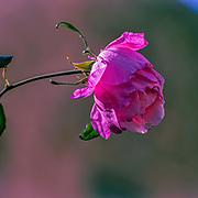 Pink English Garden Rose