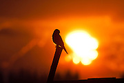 Common kestrel (Falco tinnunculus) perched on a branch at sunset. This bird of prey is a member of the falcon (Falconidae) family. It is widespread in Europe, Asia, and Africa, and is sometimes found on the east coast of North America. Photographed in