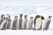 An Adult Emperor Penguin (Aptenodytes forsteri) and a creche of chicks walking in a line, Snow Hill Island, Weddell Sea, Antarctica