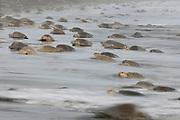 """Die Oliv-Bastardschildkröte (Lepidochelys olivacea) lebt in den tropischen Regionen des Pazifischen, des Indischen und des Atlantischen Ozeans. Bei sogenannten """"Arribadas"""" (spanisch für """"Ankunft"""") kommen wie hier in Ostional auf Costa Rica nachts tausende erwachsene Weibchen an den Strand, um ihre Eier abzulegen und im Sand zu vergraben.<br /> Verbreiteten Hypothesen zufolge werden die """"Arribadas"""" vom Mondzyklus ausgelöst. Wirklich verstanden ist das Geheimnis der eindrucksvollen Massenankünfte dieser 50 Kilogramm schweren Reptilien zwar noch nicht. Doch eine Auswertung von Beobachtungsdaten aus Ostional der vergangenen zehn Jahre zeigt, dass die Arribadas besonders oft beim abnehmenden Mond im letzten Viertel stattfinden. Sie hängen allerdings auch von anderen Umweltfaktoren wie der Temperatur, Luftfeuchte und Meeresströmungen ab.<br /> Für den Fortbestand der Schildkröten ist es zum einen vorteilhaft, wenn die Tiere selbst die günstigsten Verhältnisse etwa in Bezug auf Licht und Gezeiten auswählen. Zum anderen ist es für ihren Schutz hilfreich, die Eiablage vorhersagen und überwachen zu können."""