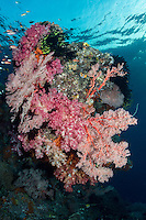 Late in the afternoon, Anthias feed over a Soft Coral and Sea Fan encrusted bommie.<br /> <br /> Shot in Raja Ampat Marine Protected Area West Papua Province, Indonesia