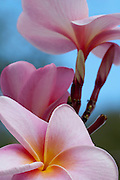 Pink and Yellow Plumeria from the island of Oahu, Hawaii.