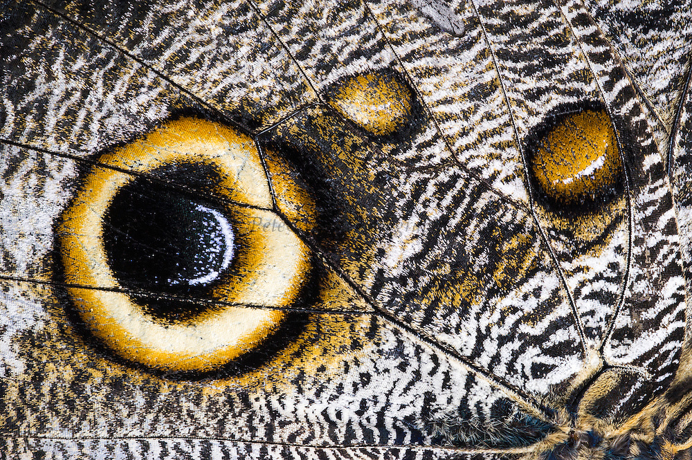 Forest giant owl butterfly (Caligo eurilochus)<br /> Mindo<br /> Cloud Forest<br /> West slope of Andes<br /> ECUADOR.  South America<br /> HABITAT & RANGE: Mexico, through Central America, to the Amazon River basin in South America.