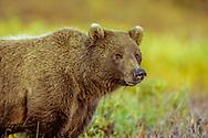 Grizzly bear pauses on autumn tundra, Denali National Park, Alaska, © David A. Ponton