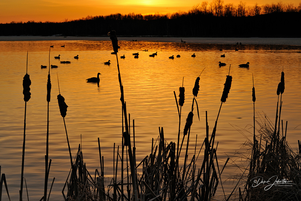 Canada geese (Branta canadensis) Migrants at dawn in Kelly Lake near Fielding Park conservation area, Greater Sudbury, Ontario, Canada