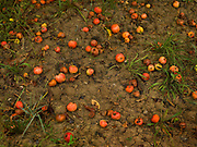 Rotting fallen apples in orchard 27th December 2016, Lagrasse France.